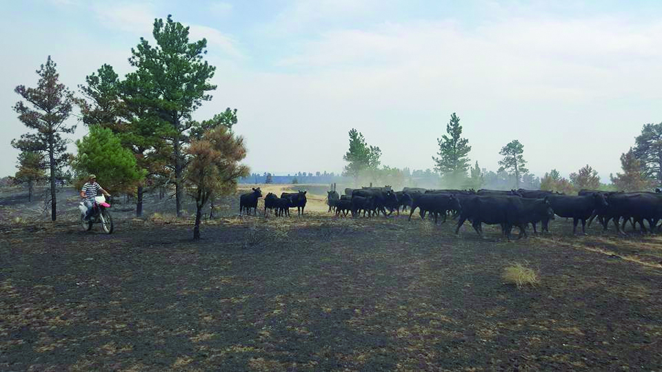 Live cattle are a beautiful and welcome sight to the ranchers in the Garfield County, Montana area after more than 270,000 acres of ranch land have burned. The number of dead livestock is not yet known. Many ranchers lost their all of their grass as well as hay. TSLN is compiling a list of grazing land and feedlot space available. Photo by Toni Twitchell Murnion