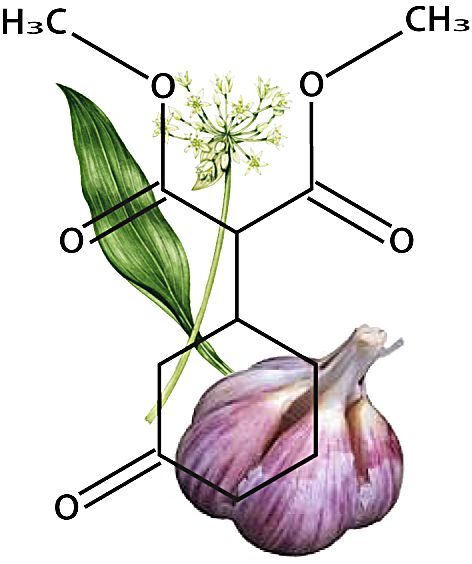 Garlic extracts being fed to livestock instead of